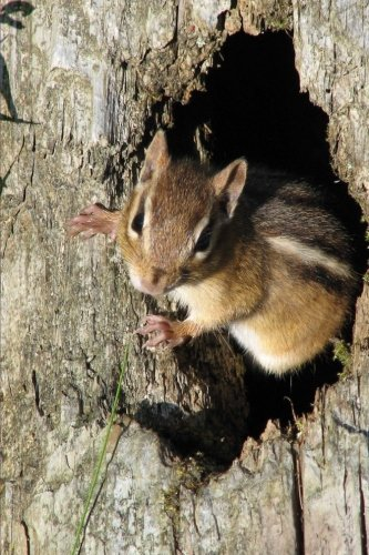 Cute Eastern Chipmunk Tamias striatus Animal Journal: 150 Page Lined Notebook/Diary Eastern Chipmunk