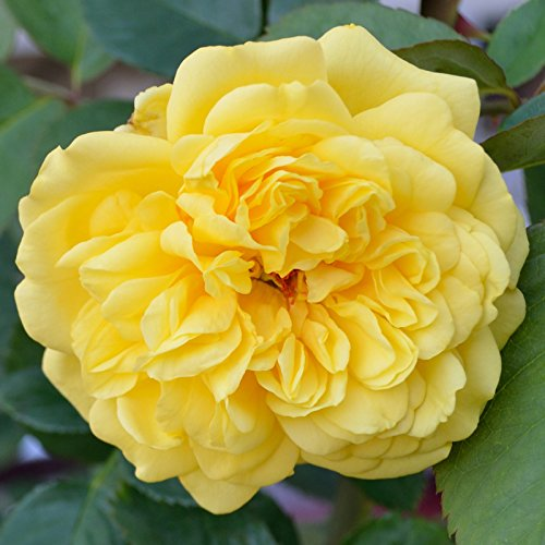 stargazer perennials golden gate rose bush lovely. Black Bedroom Furniture Sets. Home Design Ideas