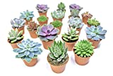 Succulent Plants (20 Pack) Fully Rooted in Planter Pots with Soil - Real Live Potted Succulents/Unique Indoor Cactus Decor by Plants for Pets