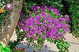 50Pcs Super Rare Hortensis Verbena Hybrida Rare Bonsai Indoor Plants Ornamental Plant for Home Garden Perennial Herb Plants : 4