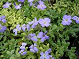 50 Seeds Aubrieta Light Blue Rock Cress (PERENNIAL)