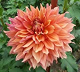 Fairway Spur Decorative Dinnerplate Dahlia - 2 Bulb Clumps