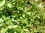 3 Well Rooted of Purslane (Portulaca Oleracea) Plants
