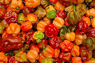 Pepper Hot - Caribbean Mix (Capsicum Chinense) a Bright Mix of Habaneros and Scotch Bonnets Scoville Rating 200,000 This Blend Is a Winner Approx. 15 Seeds
