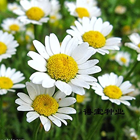 Creative Farmer Flower Seeds Chandramallika White Flower Seeds For