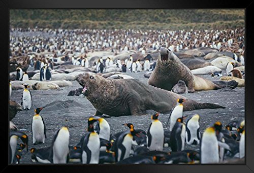 - Fight Time Elephant Seals Surrounded by Penguins Photo Art Print Framed Poster 20x14 inch