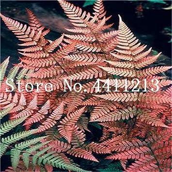 Bloom Green Co. Bonsai 100 Unids Raras Bonsai Colores Mezclados Helecho Plantas de Hierbas Perennes Bonsai Maceta Planta de Interior Para Huerto Fácil Crecer: 18