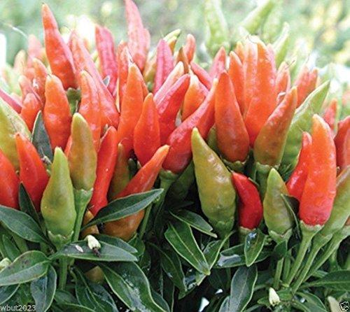 25 Candlelight' hot pepper (Capsicum annuum) - AAS 1983 winner