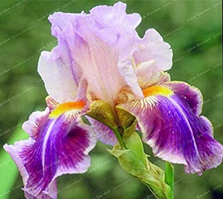 2 Iris Bulbs Roots Perennial Flower Plant Easy to Grow Beautifying Home Garden