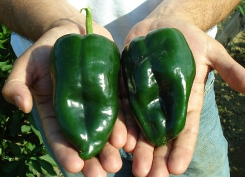 Poblano/Ancho Pepper Seeds - 400 Milligrams - Mildly Hot