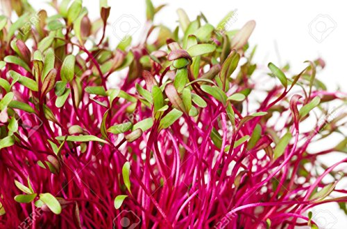 Organic Beet 'Bull's Blood' Seeds for Sprouting and Microgreens (2oz) ()