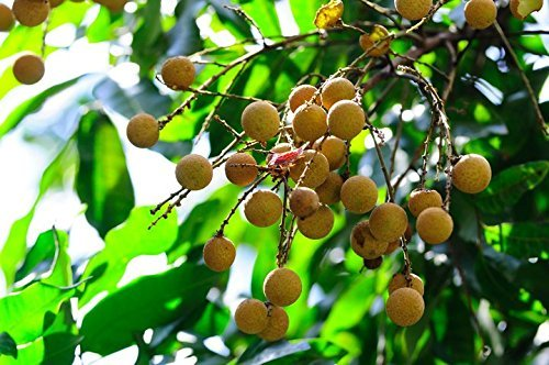 4 Pound (1816 grams) Dried Longan fruit pulp Grade A from Guangdong (广东桂圆肉干) by JOHNLEEMUSHROOM RESELLER (Image #2)