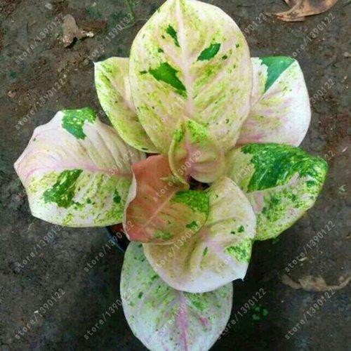 Evergreen Plant Chinese (ChinaMarket 50 pcs/bag Aglaonema 'Pink Dud', beautiful Mosaic plants flower seeds)