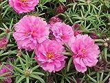 Purslane (portulaca grandiflora) Pink Flower Seeds from Ukraine