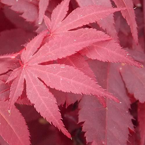 Acer palmatum atropurpureum Purple Japanese Maple