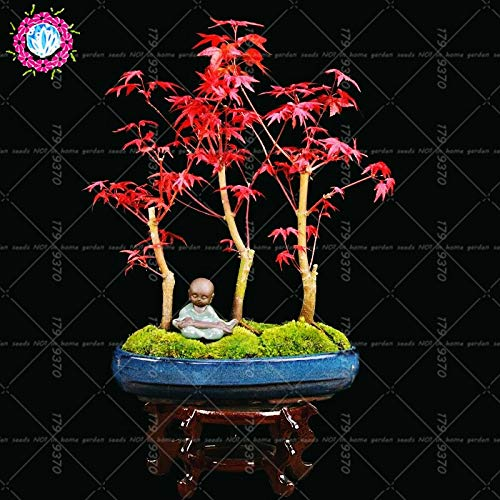 Seed 10pcs 100% True Rare Japanese Red Maple Bonsai Flame Maple Potted Plants for Home&Garden De Plantas Palmatum