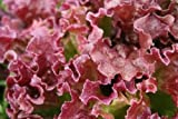 Ruby Red Leaf Lettuce 1 LB seeds Grow Your Own Heirloom Salad!
