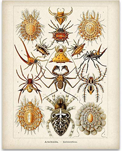 Ernst Haeckel Spiders Illustrations - 11x14 Unframed Art Print - Great Gift Under $15 for People Fascinated with Bugs ()