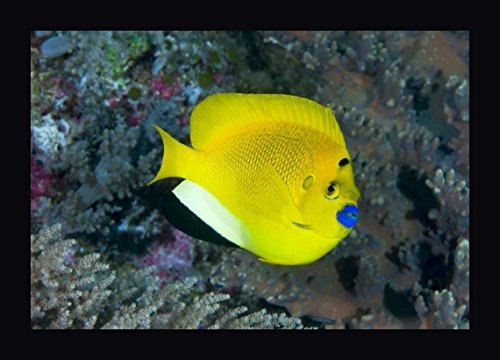 Indonesia Three spot angelfish swims amid coral by Jones Shimlock - 12