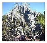 Bismarckia nobilis Silver - Bismarck Palm - 4 Seeds