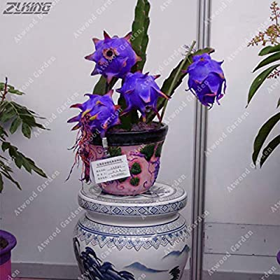 100 Pcs Original Blue Dragon Fruit Bonsai Perennial Elegant Easy to Grow Sweet Anti-Aging Delicious