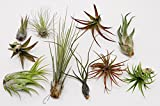 CTSairplants 10 Pack Assorted Tillandsia-Easy Care CollectionVarieties