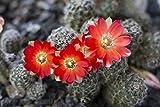 Laminated Poster Rebutia Cactus Red Flower Nature Flower Plant Poster Print 24 x 36