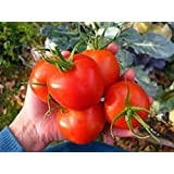 Organic Heirloom Tomato25+ Vegetable Seeds Siberian. this tomato produces even at 38 degrees