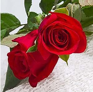 TTmart 150 PCS Red Rose Flower seed
