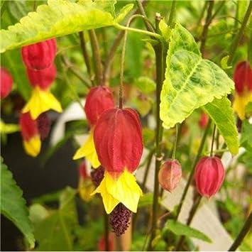 Cross Common Nursery Abutilon Megapotamicum Agm Amazoncouk