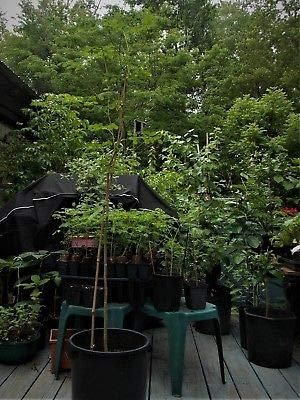 Moringa Oleifera Live Plant Tree, Super Survival Food, Tree of Life