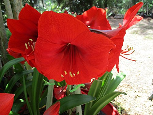 1 Cross-pollinated amaryllis Hippeastrum Red Lion crossed with Fantasy (Amaryllis Lion Red)