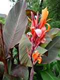 "Canna indica - Indisches Blumenrohr "" RUSSIAN RED "" 1 Rhizom"