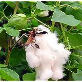 Cotton Plant - 20 Seeds - Gossypium
