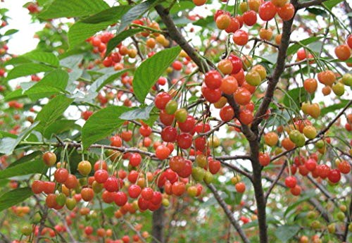 Kristin Cherry Tree Seeds - 20 Cherry Seeds - Qualityseeds4less Exclusive ()