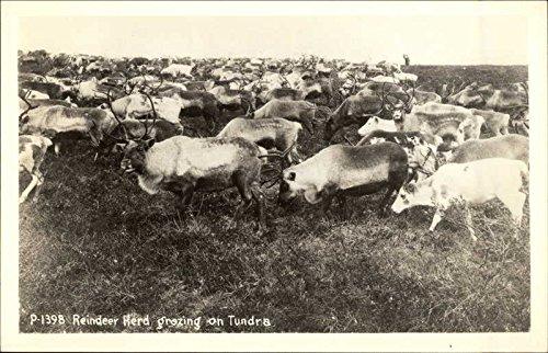 Reindeer Herd Grazing on Tundra Other Animals Original Vintage Postcard from CardCow Vintage Postcards