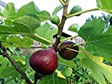2 Brown Turkey/ Mission Fig Plants in 4 Inch Containers, Well Rooted and Sturdy!
