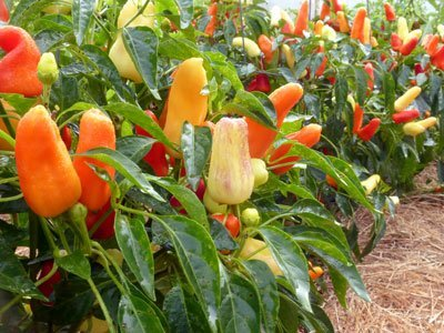 David's Garden Seeds Pepper Specialty Sweet Pickle D461PEP (Multi) 50 Organic Seeds