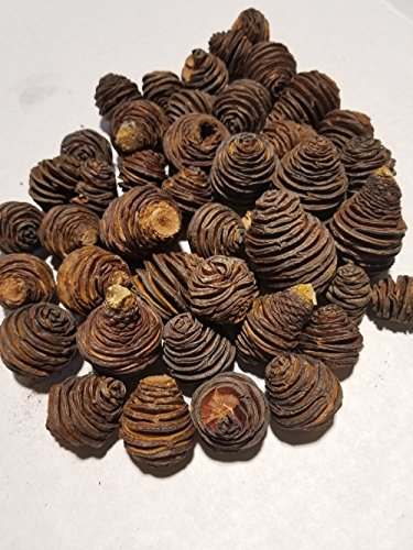Little Valley Platyspermum Cones Spiral Pinecones  Perfect for Potpourri Bowl Fillers Decorating Table Scattering Weddings  Large 1 LB Bag of Beautiful Pinecones