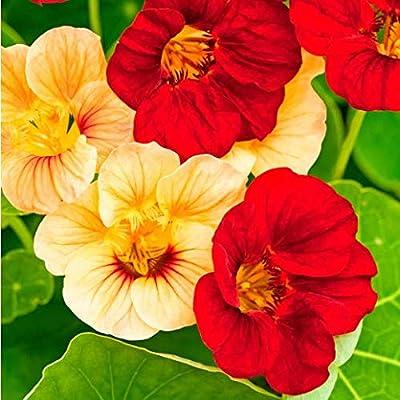 Humany flowerseeds- Garden Nasturtium Seeds Perennial Mix Zaden Climbing Flowerseeds Perennial for Patio/Balcony/Garden : Garden & Outdoor