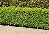 Dwarf English Boxwood