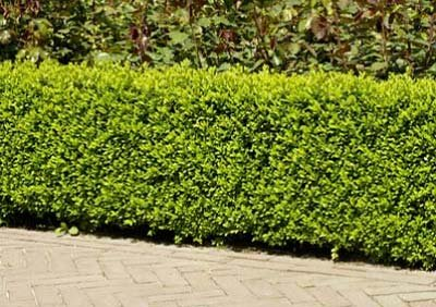 Dwarf English Boxwood by Brighter Blooms