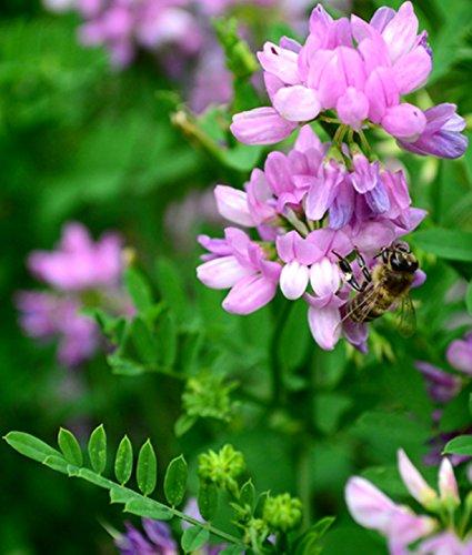 Crown Vetch Purple Flowering Seeds for Wildlife Food Plots & Soil Erosion Control 1000 (Erosion Control Seeds)