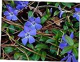 QIO Plants 20 Vinca Vine Live Plants Ground Cover Evergreen(Periwinkle,Creeping Myrtle) - RK25