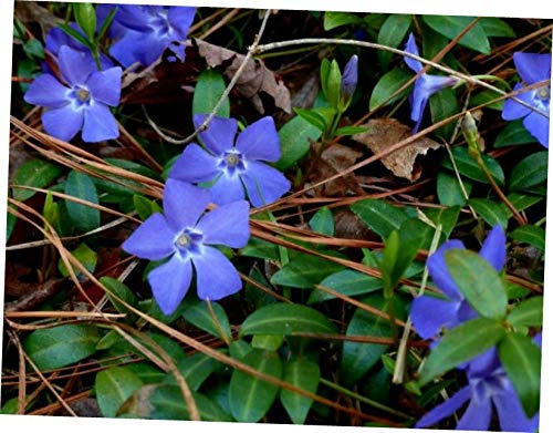 QIO Plants 10 Vinca Vine Live Plants Ground Cover Evergreen(Periwinkle,Creeping Myrtle) - RK25