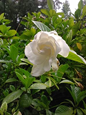 (Quart) CHUCK HAYES Gardenia - Gorgeous White Blooms and Glossy, Green Leaves. Very Fragrant.