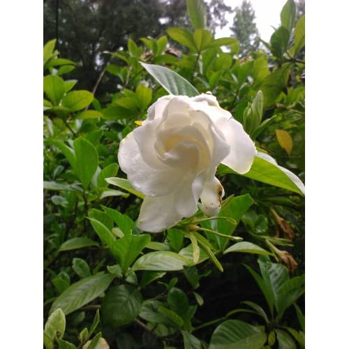 Discount (1 Gallon) CHUCK HAYES Gardenia - Gorgeous White Blooms and Glossy, Green Leaves. Very Fragrant.