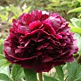 iDealhere Pfingstrose , Paeonia Samen Blumensamen für ca.10 Samen Multi Color (rot)