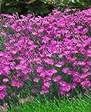Dianthus Cheddar Pink Flower Seeds (Dianthus Gratianopolitanus) (100)