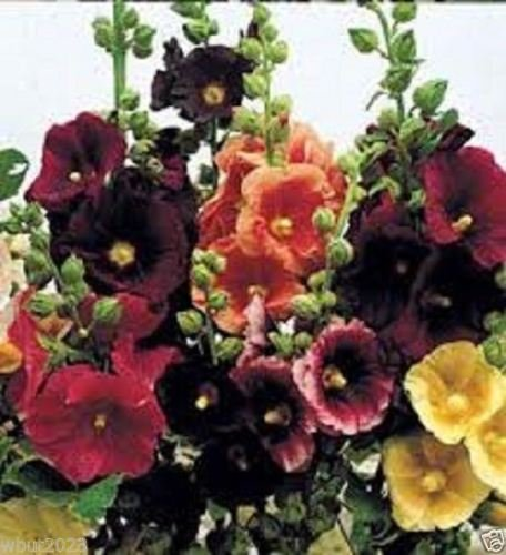 25 Happy Lights Hollyhock Mix Seeds,White,Yellow,Red,purple,Πnk! Single-flower